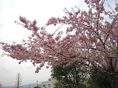 山形の桜:2007